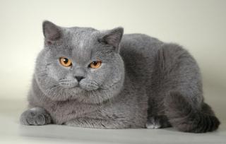 Koty Brytyjskie Słupsk Wwwbrytyjskiemisiepl